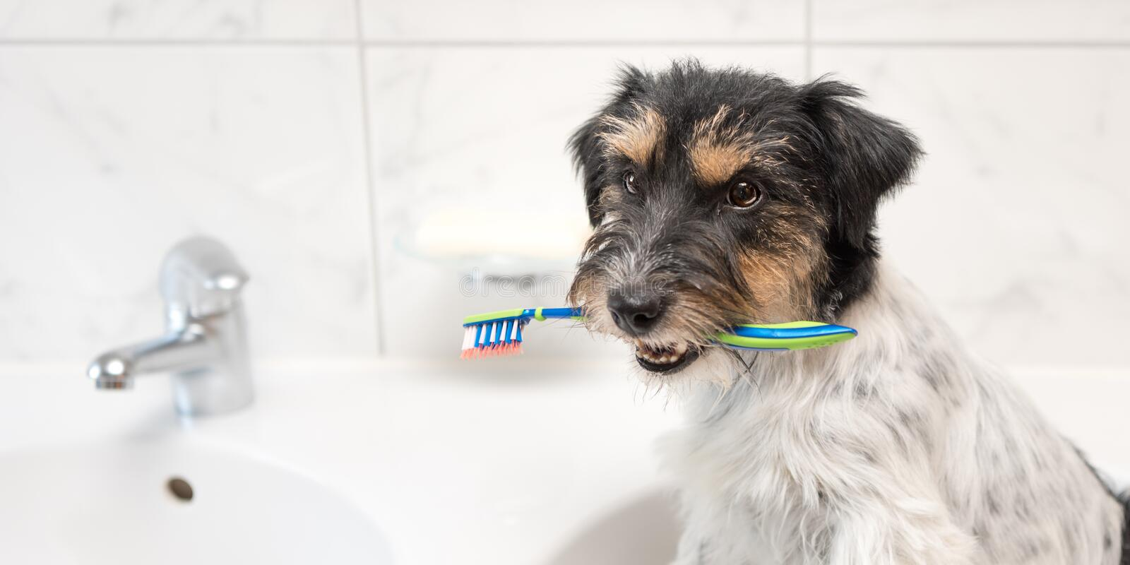 Jack Russell Terrier dog holding toothbrush . Ready to brush the teeth to avoid the need for a dentist. Dog holding toothbrush in bathroom. Young Jack Russell royalty free stock images