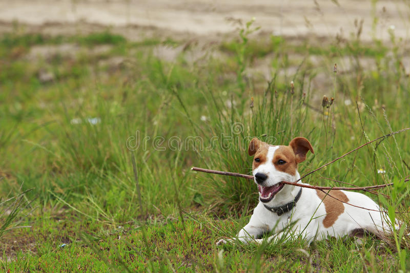 The Jack Russell Terrier dog. Jack Russell terrier dog is lying on a grass royalty free stock photography