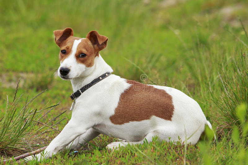The Jack Russell Terrier dog. Jack Russell terrier dog is lying on a grass stock photography