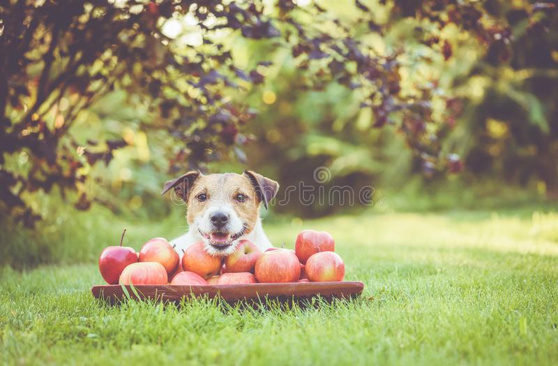 Happy dog with crop of sweet apples in wooden bowl at orchard royalty free stock photography