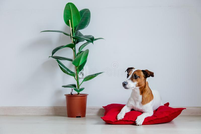 Jack Russell Terrier dog lying on red pillow near plant stock photo