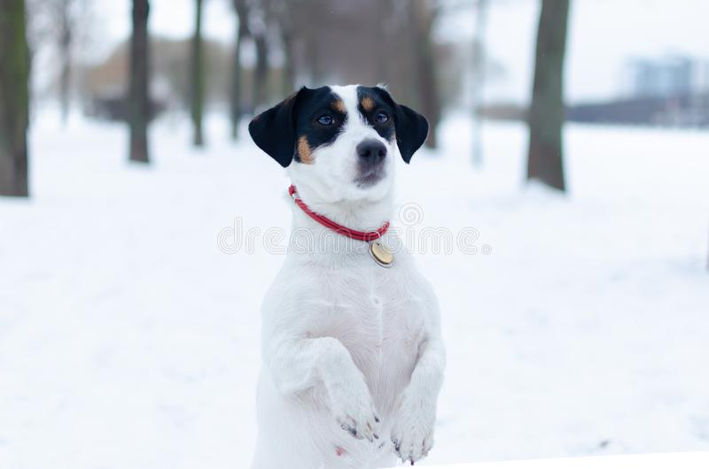 Jack Russell Terrier. The dog performs the commands of its owner. Walking outdoors in the winter. stock photography