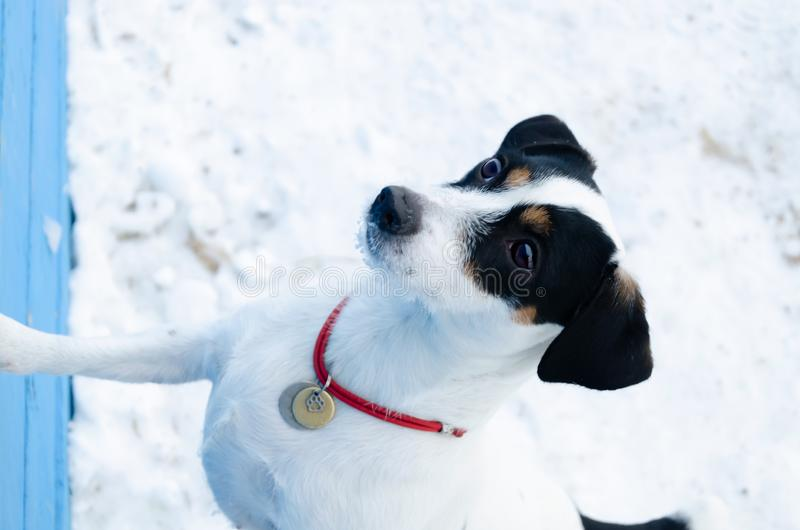 Jack Russell Terrier. The dog performs the commands of its owner. Walking outdoors in the winter. stock image
