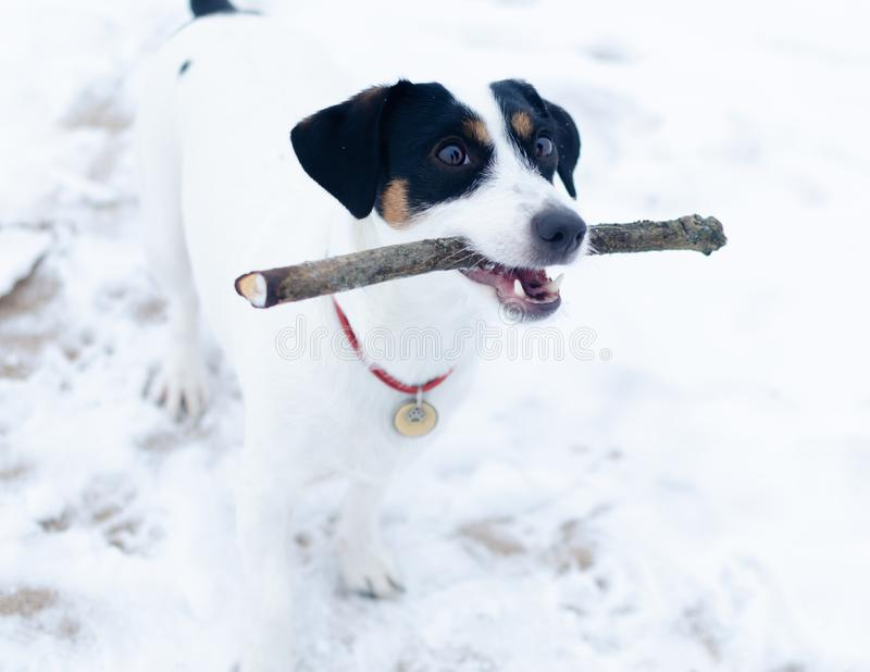 Jack Russell Terrier. The dog plays with its owner in the pulling. royalty free stock photos