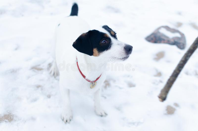 Jack Russell Terrier. The dog plays with its owner in the pulling. royalty free stock photo