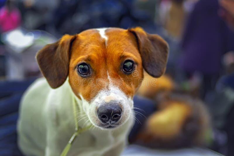 Jack Russell Terrier Dog Portrait Piccolo terrier Terrier allegro felice di russell della presa Piccolo animale domestico sveglio fotografia stock libera da diritti