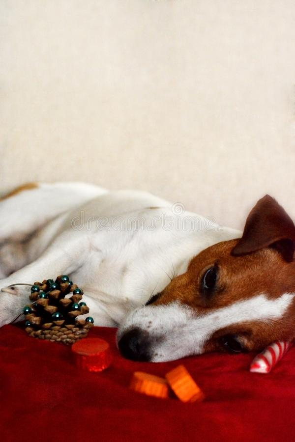 Jack Russell Terrier Dog Resting após um gabinete completo da refeição do Natal imagens de stock