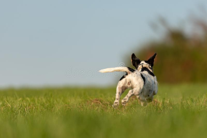 Jack Russell Terrier dog is running away over a green meadow. Cute runaway doggy. Jack Russell Terrier dog is running away over a green field. Cute runaway dog royalty free stock photo