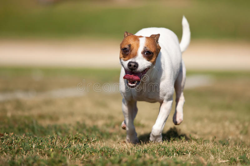 Download Jack Russell Terrier Dog Runs On The Grass Stock Image - Image: 15829113