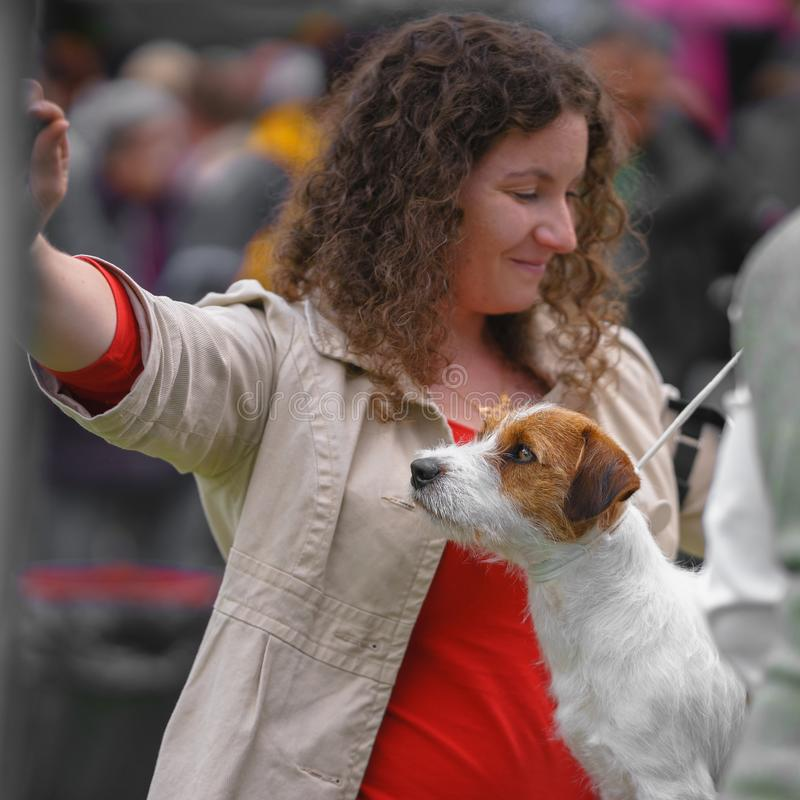 Jack russell terrier dog at a dog show. royalty free stock photos