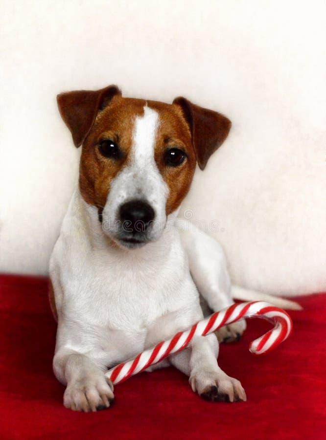 Jack Russell Terrier Dog Sitting Down met een Suikergoed Cane Looking stock afbeeldingen