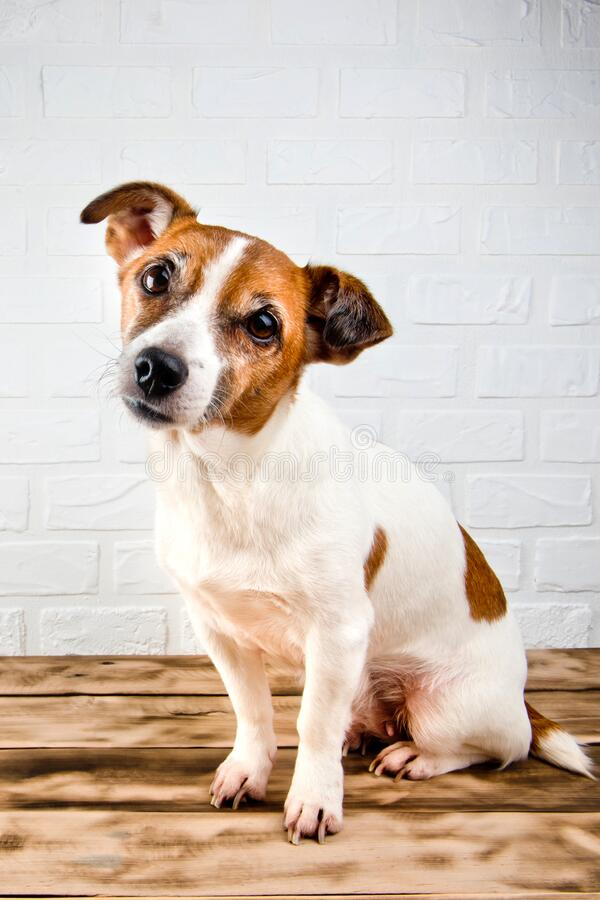 Jack Russell Terrier dog sitting on a wooden. Jack Russell Terrier dog sitting on a wooden background royalty free stock image