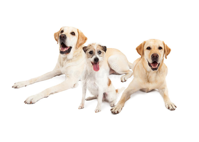 Jack Russell Terrier Dog Sitting With zwei Labrador retriever tun stockfotos