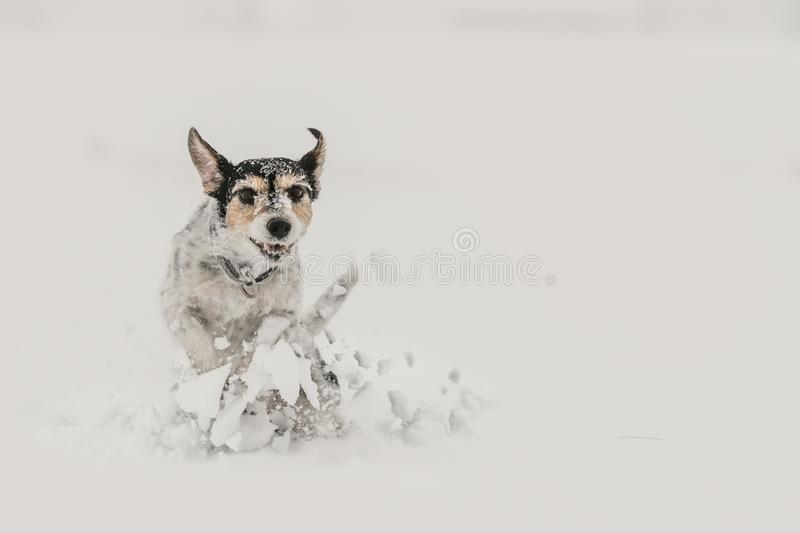 Jack Russell Terrier dog in the snow. Funny dogs running in front of white background. Jack Russell Terrier dog in the snow. Cute funny dogs running in front of stock photos