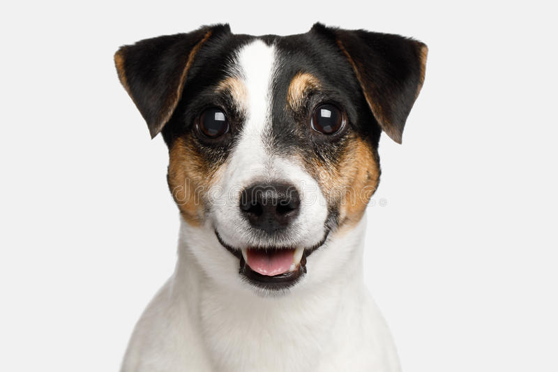 Jack Russell Terrier Dog on White background. Portrait of Smiling Jack Russell Terrier Dog isolated on White background, Front view stock photo