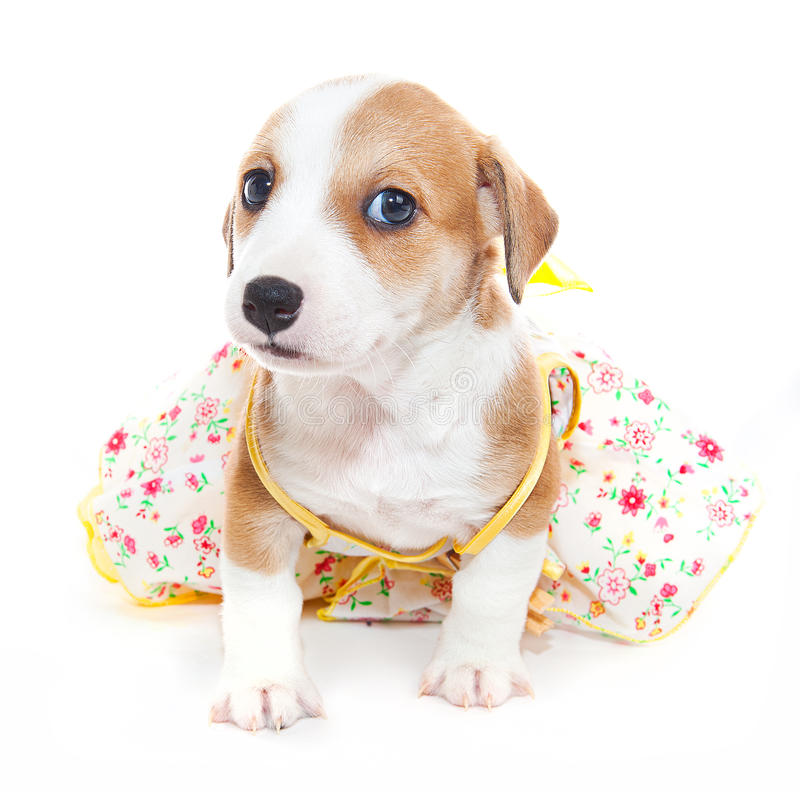 Jack Russell Terrier in a dress