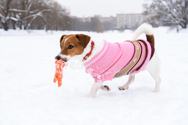 Dog wearing fashionable clothing and collar playing with toy on snow at nice winter day. Jack Russell Terrier dressed with a knitted pink sweater royalty free stock photography