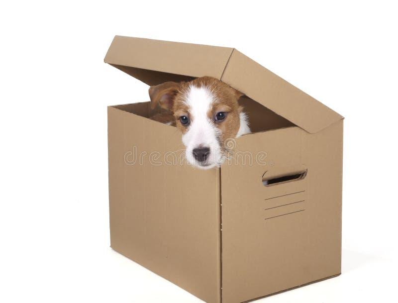 Jack Russell Terrier en el estudio en un fondo blanco fotografía de archivo