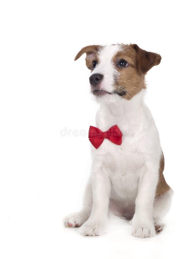 Jack Russell Terrier en el estudio en un fondo blanco imagenes de archivo
