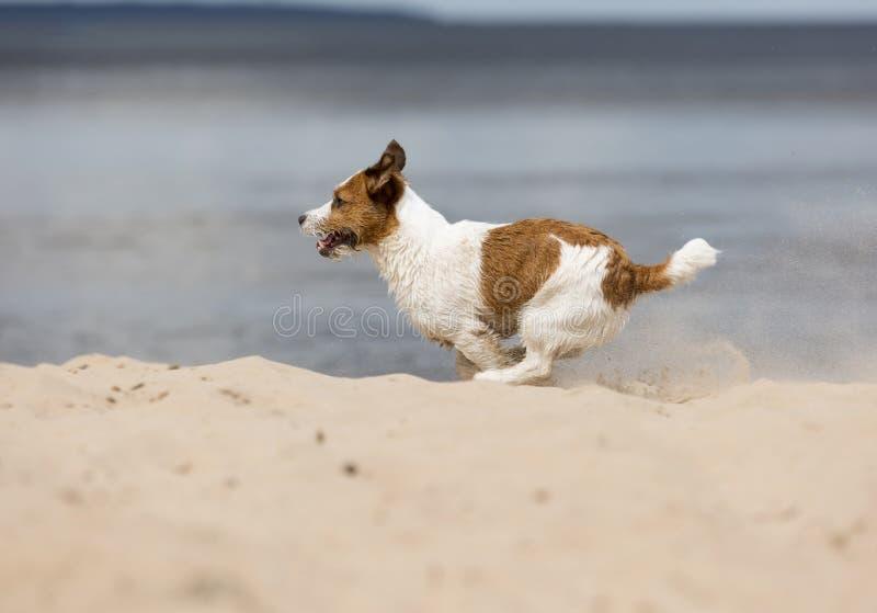 Jack Russell Terrier en la playa fotos de archivo libres de regalías
