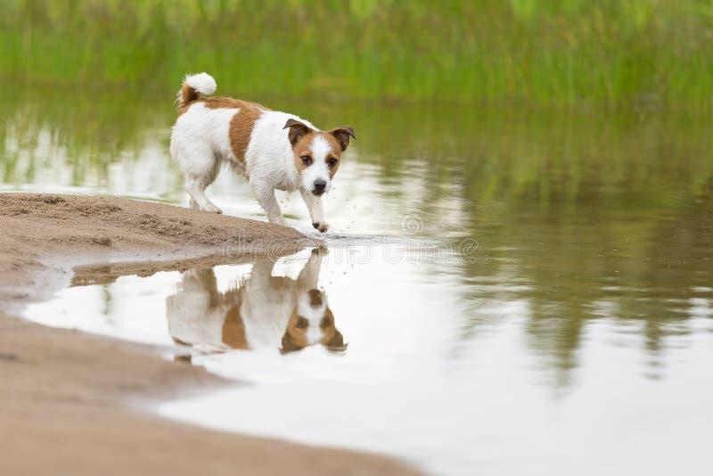 Jack Russell Terrier en la playa imágenes de archivo libres de regalías