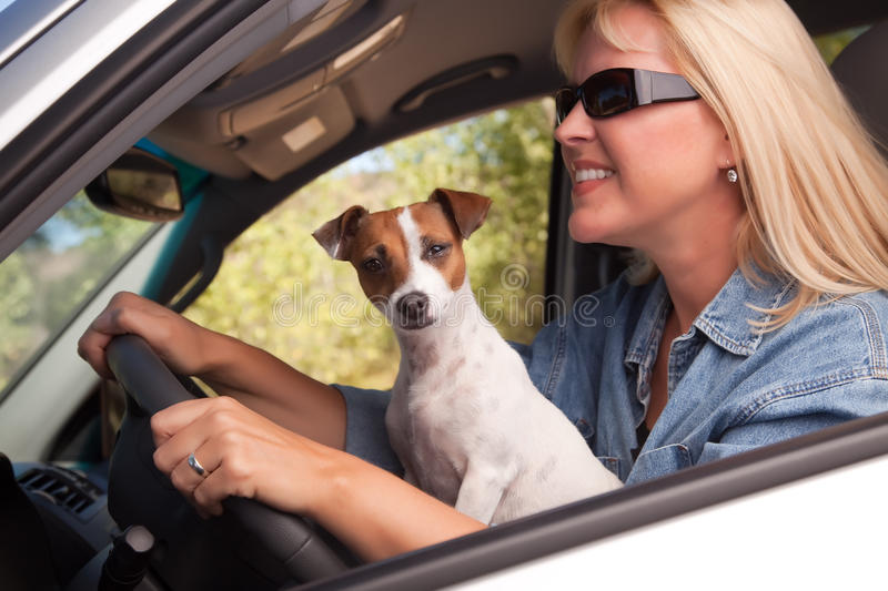 Jack Russell Terrier Enjoying A Car Ride Stock Images