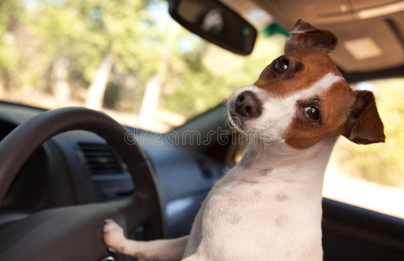 Jack Russell Terrier Enjoying a Car Ride stock photos