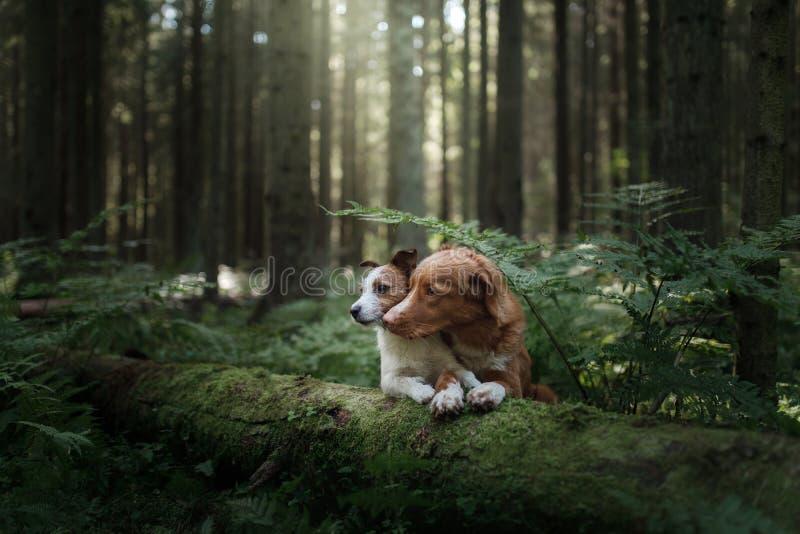 Jack Russell Terrier et Nova Scotia penchent le chien d'arrêt de tintement dans t photos stock