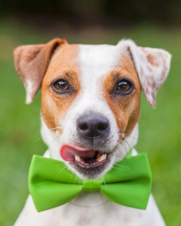 Jack Russell Terrier With ett grönt band arkivbilder