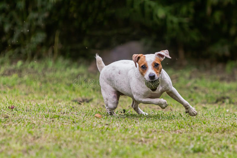 Jack Russell Terrier Female Dog Jumping sur le pré images stock
