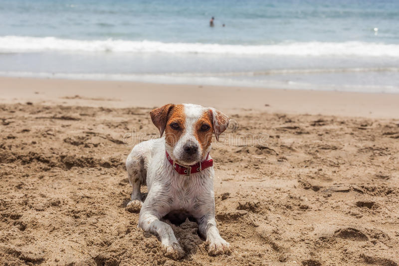 Jack Russell Terrier Female Dog Resting op het Strand stock foto's