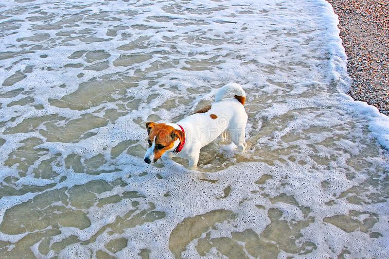 Jack russell terrier girl goes swimming in the sea in the waves. Jack russell terrier girl goes swimming in the sea stock images