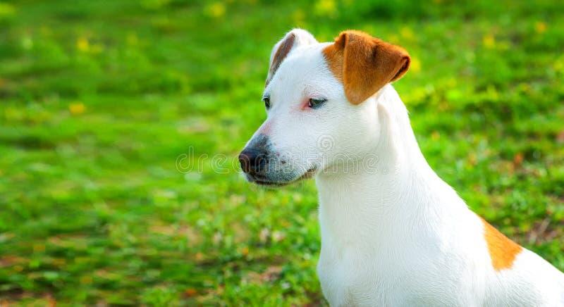 Jack Russell Terrier-het puppy in het gras ontdekt de wereld royalty-vrije stock foto
