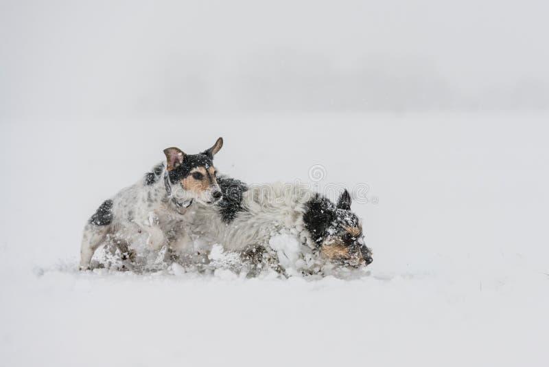 Jack Russell Terrier-hond in de sneeuw Grappige honden die voor witte achtergrond lopen royalty-vrije stock afbeelding