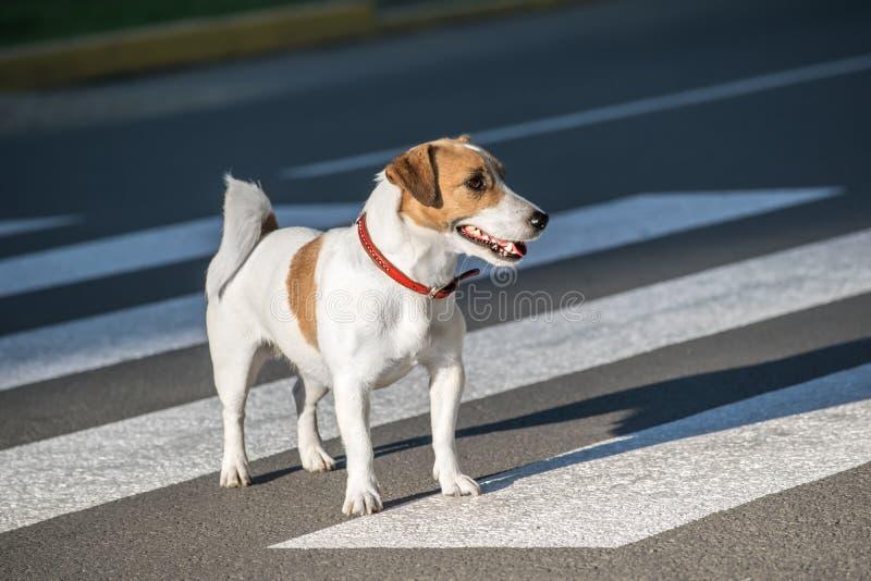 Jack Russell Terrier-hond die zebrapad op de weg kruisen royalty-vrije stock foto's