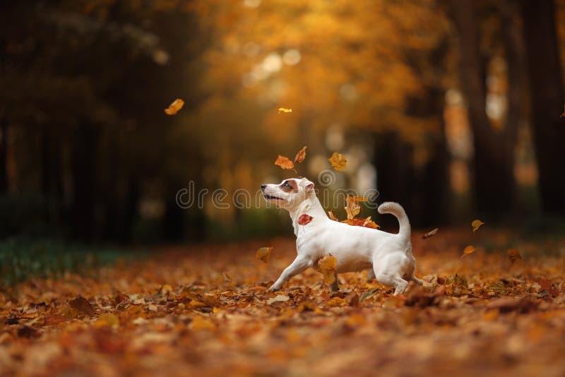 Jack Russell Terrier-hond met bladeren gouden en rode kleur, gang in het park stock afbeelding