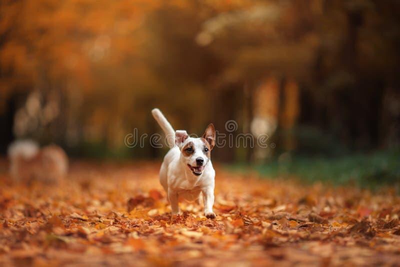 Jack Russell Terrier-hond met bladeren gouden en rode kleur, gang in het park stock foto's