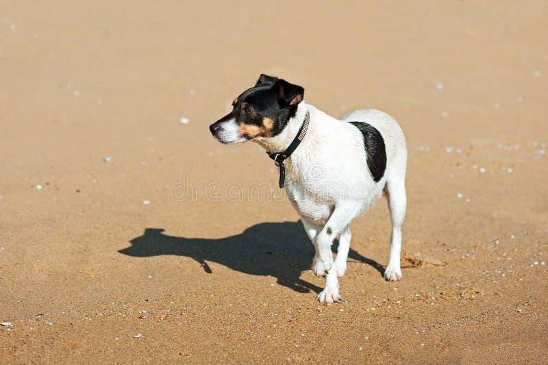 Jack Russell Terrier-hond op aardachtergrond royalty-vrije stock foto