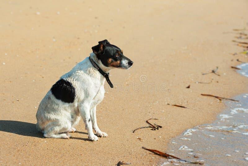 Jack Russell Terrier-hond op aardachtergrond royalty-vrije stock afbeelding