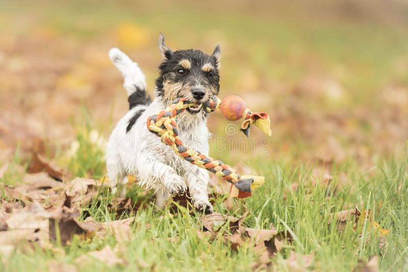 Cute Jack russell terrier hound.  Little dog runs with his toy in the autumn season over a colorful meadow. Jack russell terrier hound.  Little dog runs with his royalty free stock photography