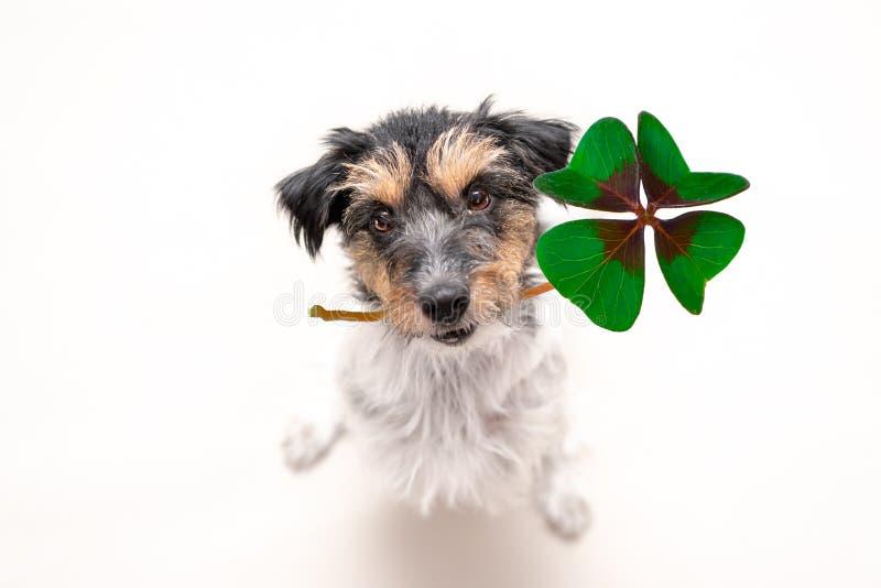 Jack Russell Terrier-Hund hält einen Glücksbringer des vierblättrigen Kleeblattes und schaut oben stockfotos