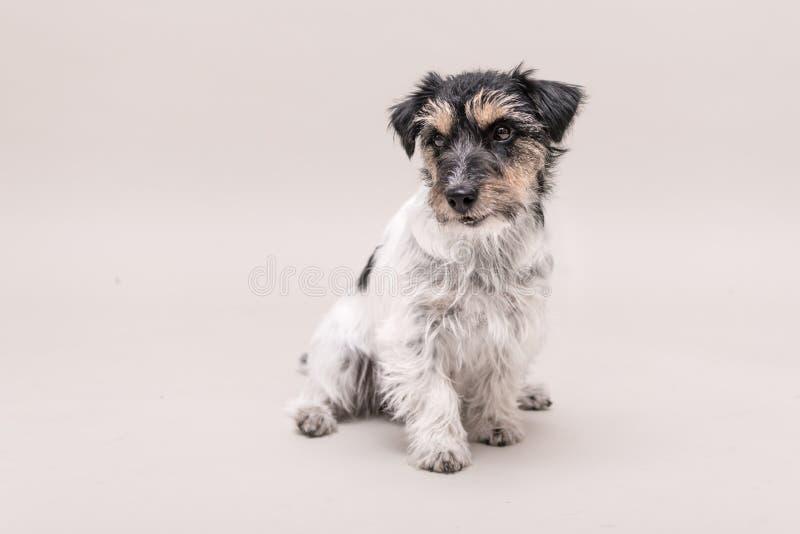 Jack Russell Terrier-Hund sitzt und lokalisiert auf weißem 3 Jahre alt lizenzfreie stockfotografie