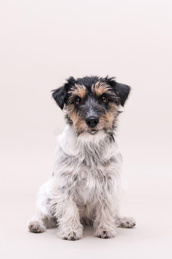 Jack Russell Terrier-Hund sitzt und lokalisiert auf weißem 3 Jahre alt stockfotografie