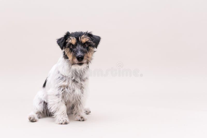 Jack Russell Terrier-Hund sitzt und lokalisiert auf weißem 3 Jahre alt lizenzfreies stockfoto