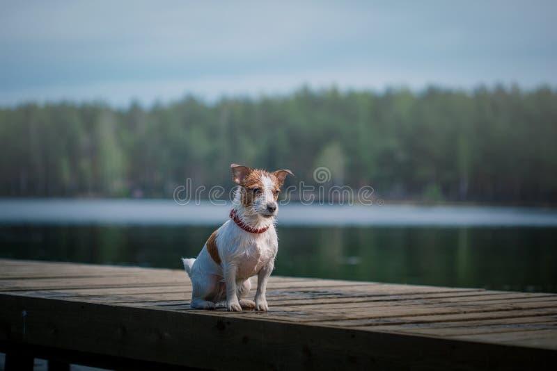 Jack Russell Terrier hund som spelar i vatten arkivbild