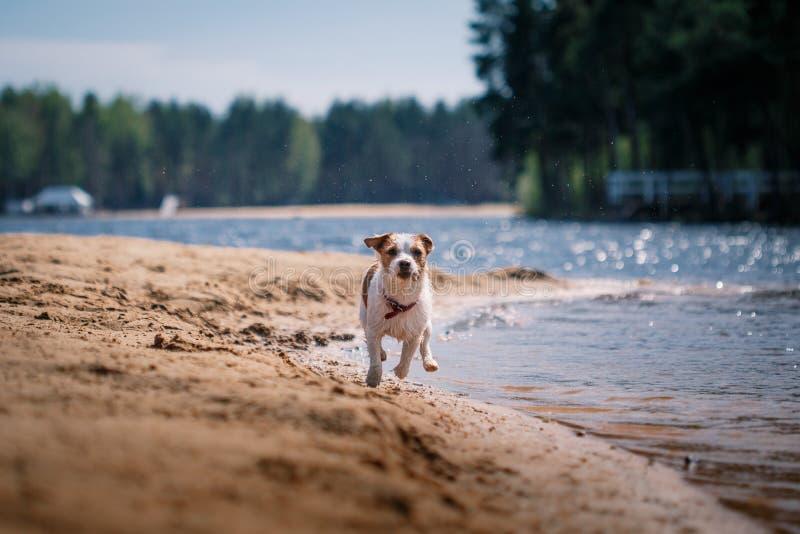 Jack Russell Terrier hund som spelar i vatten arkivfoton