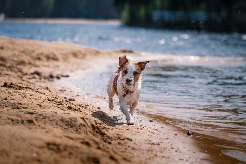 Jack Russell Terrier hund som spelar i vatten royaltyfri fotografi