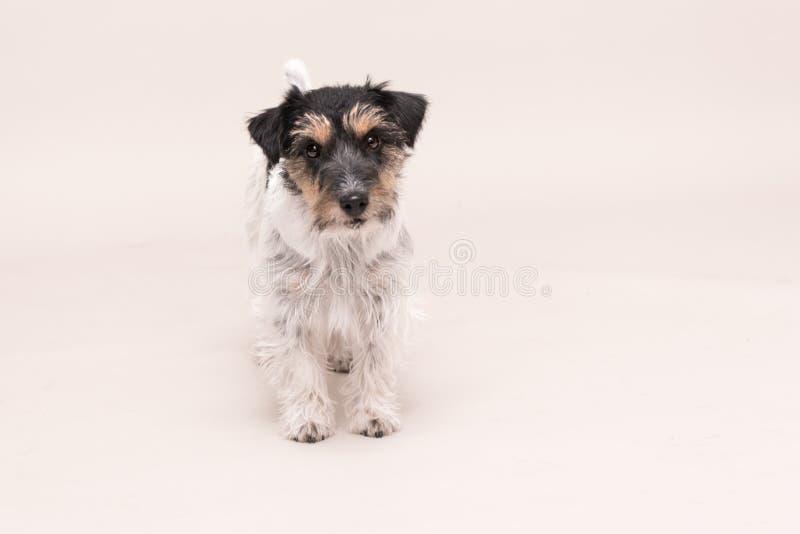 Jack Russell Terrier-Hund steht und lokalisiert auf wei?em lizenzfreie stockfotos