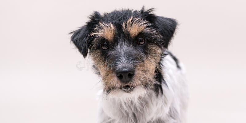 Jack Russell Terrier-Hund wirft auf dem weißen lokalisierten Hintergrund auf stockfotos
