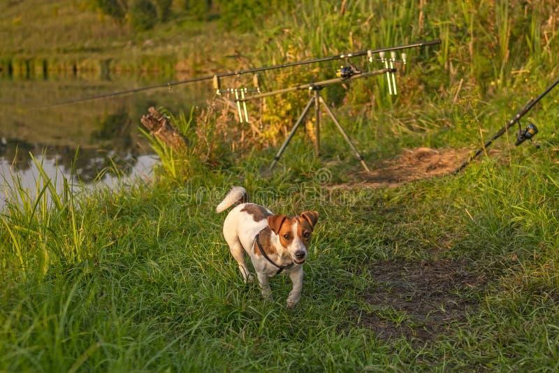 Jack Russell Terrier Hund zum Angeln Roden auf dem Stangen am Ufer des Sees mit grünem Gras Sommerurlaub stockbilder
